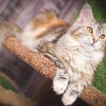Are Maine Coon Cats Good Pets?