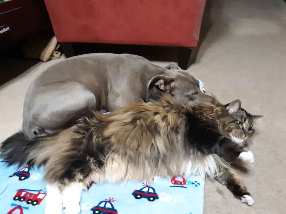 Are Maine Coon Cats Good With Dogs?