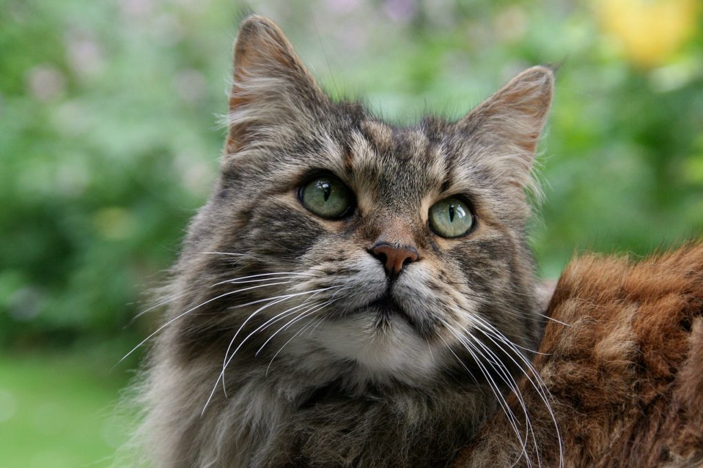 Are Maine Coons Friendly?