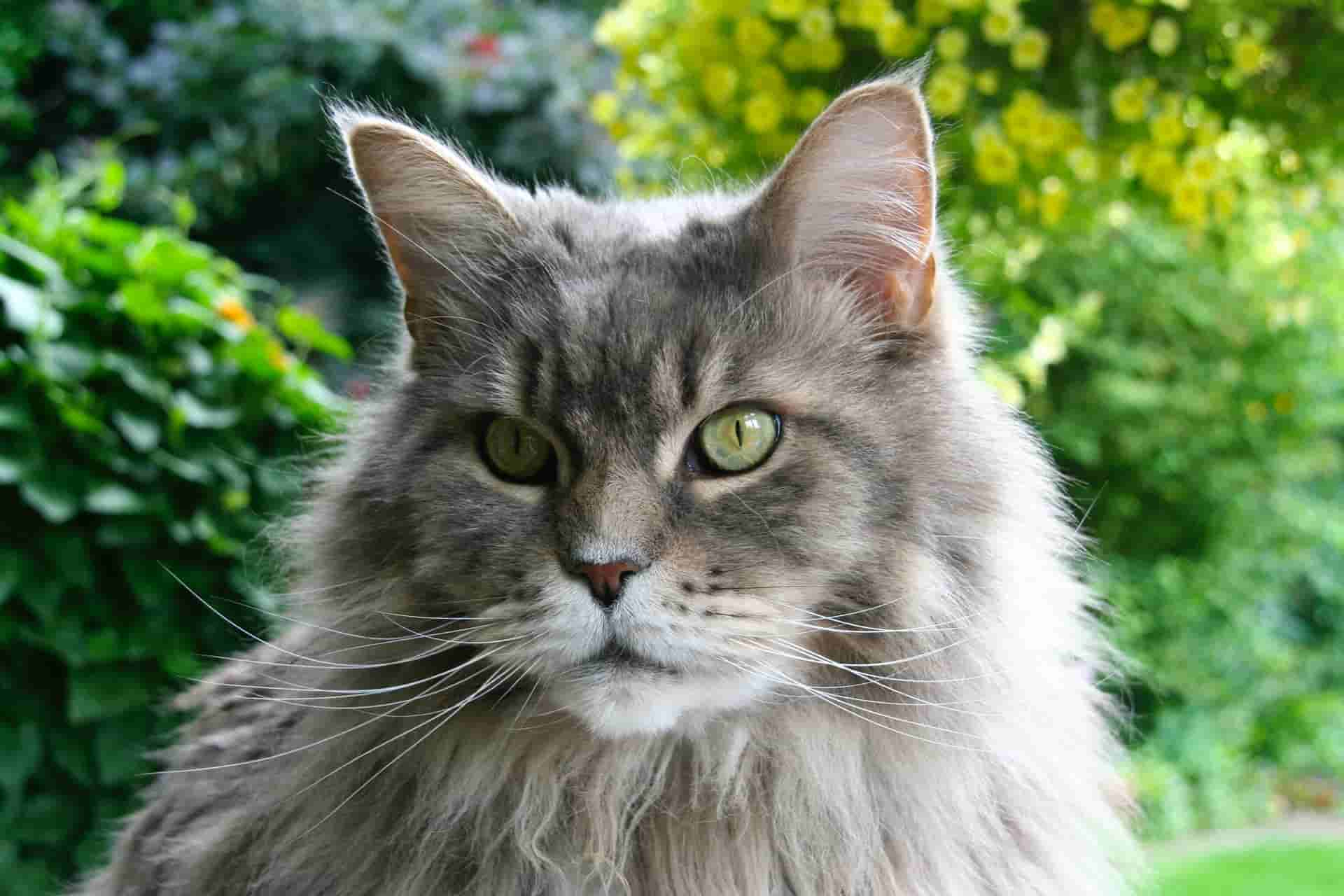 Are Maine Coons Protective?