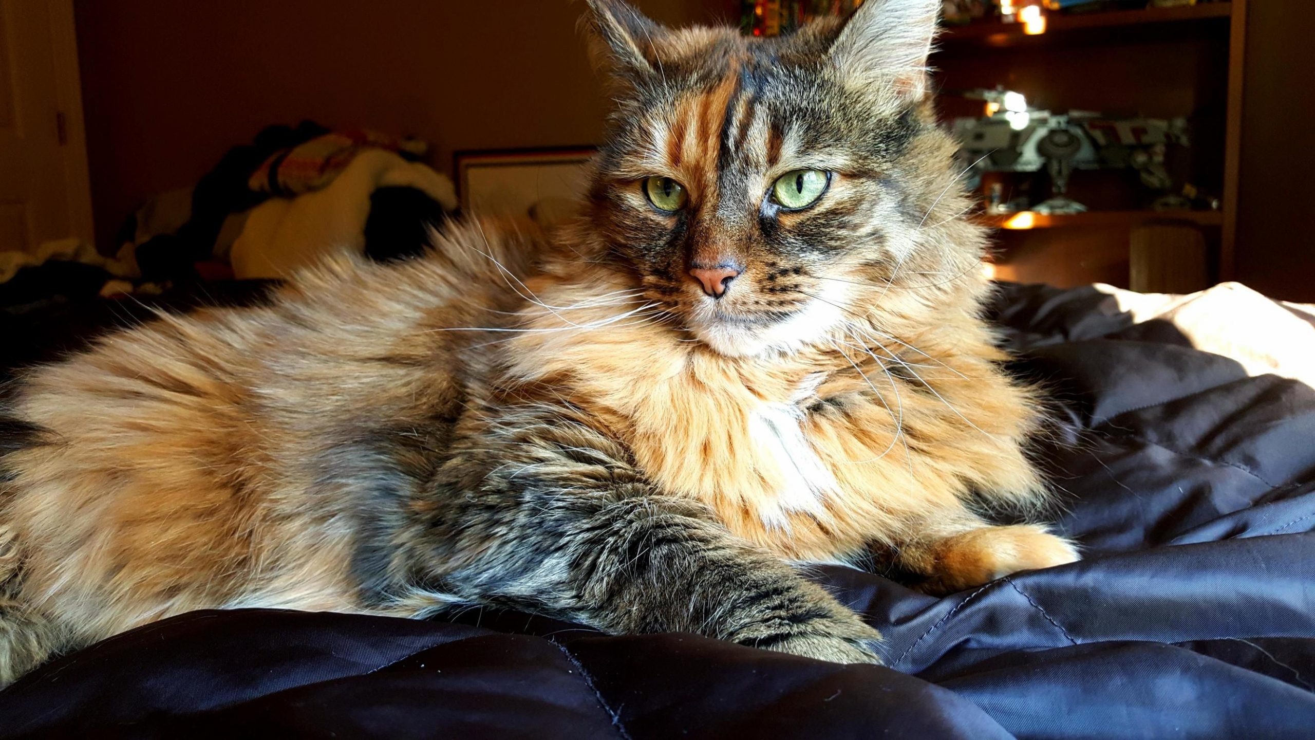 Are Maine Coons Shy?