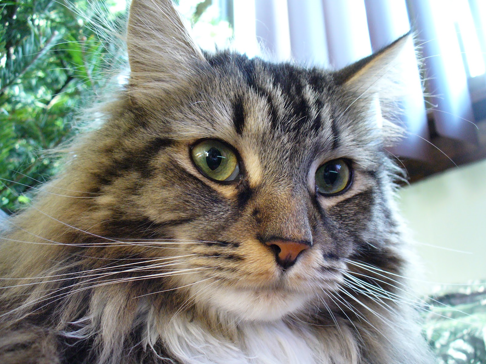 Are the Maine Coons independent?