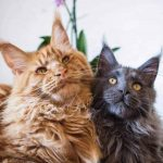 Can Maine Coon Cats Live with Other Cats?