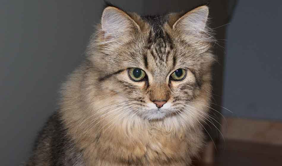 Can Maine Coons Be Small?