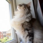 Can Maine Coons Live In Hot Weather?