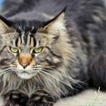 Can You Be Allergic To Maine Coon Cats?