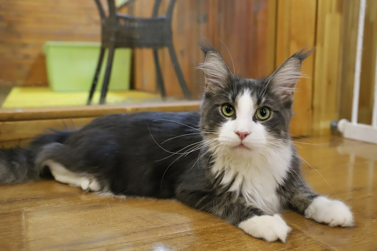 Can a Maine Coon cat have smelly sweat?
