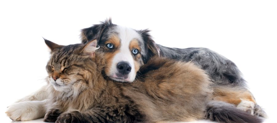 Do Maine Coon Cats Get Along with Dogs?