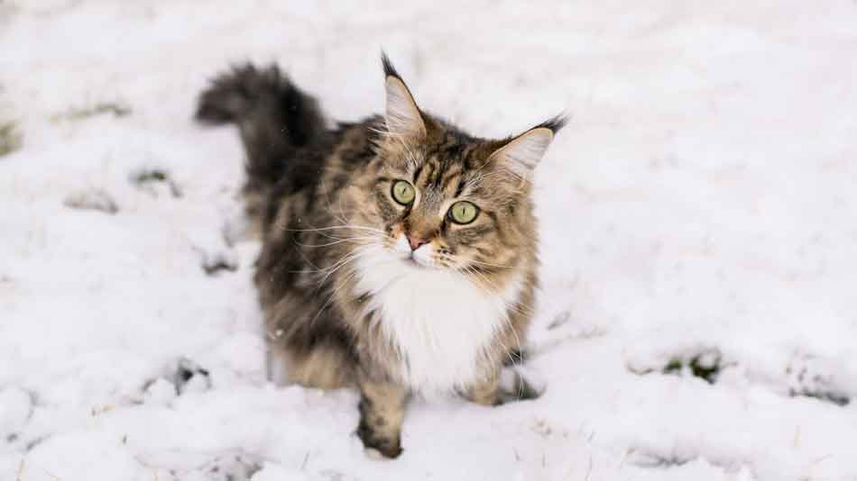 Do Maine Coon Cats Like Cold Weather?