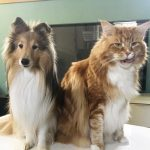 Do Maine Coon Cats Like Dogs?