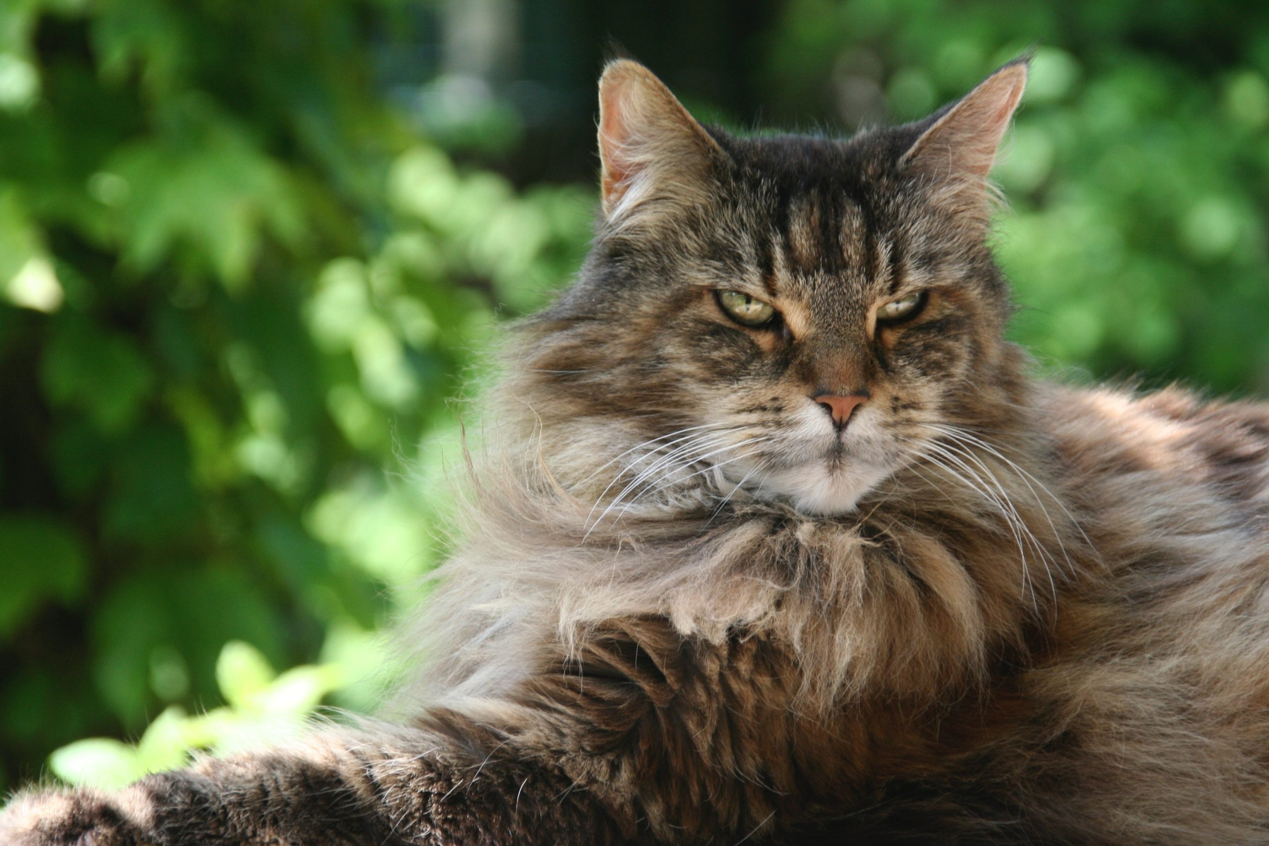 Do Maine Coon Cats Like To Travel?