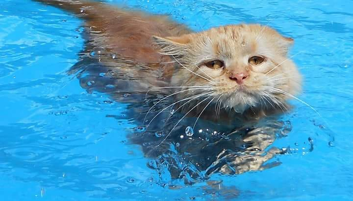 Do Maine Coon Cats Love Water?
