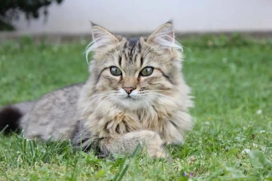 Do Maine Coons Have Sensitive Stomachs?