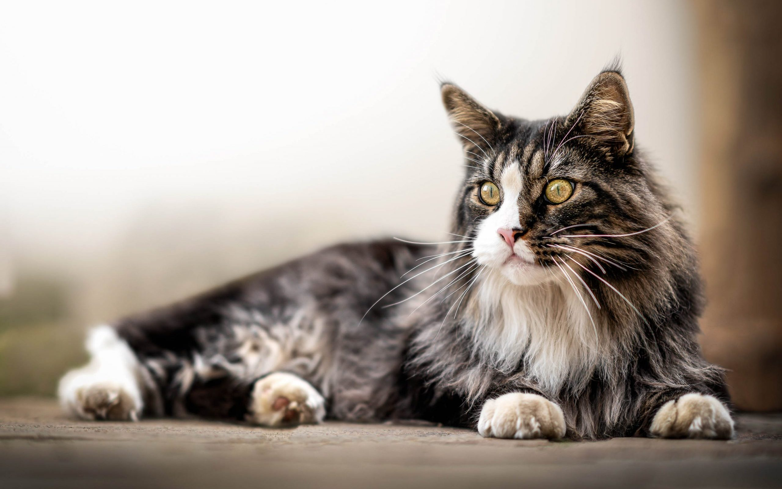 Do Maine Coons Love to Cuddle?
