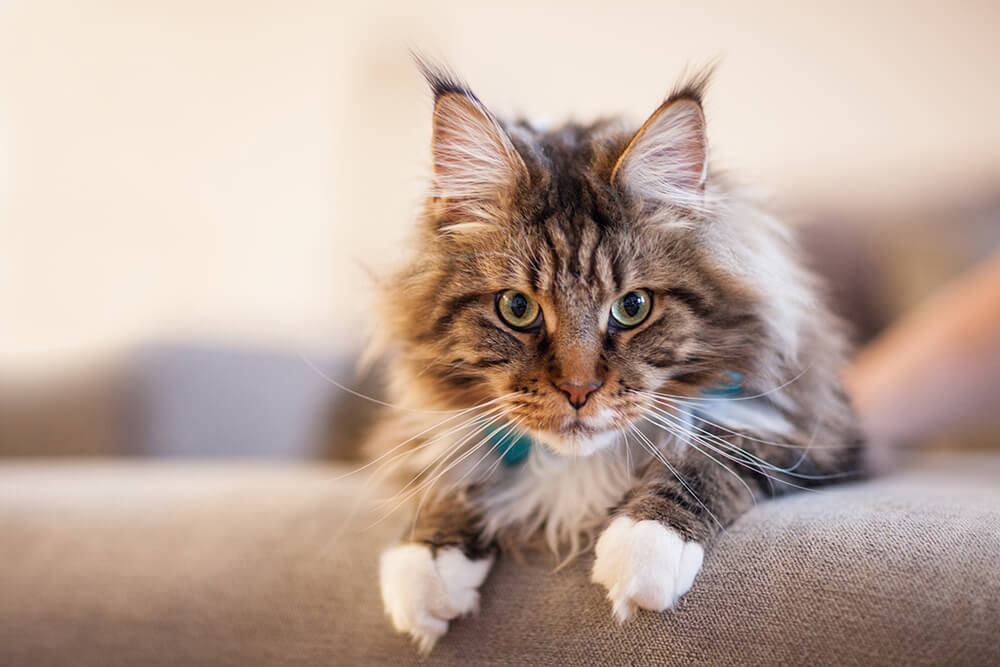 Do Maine Coons like other cats?