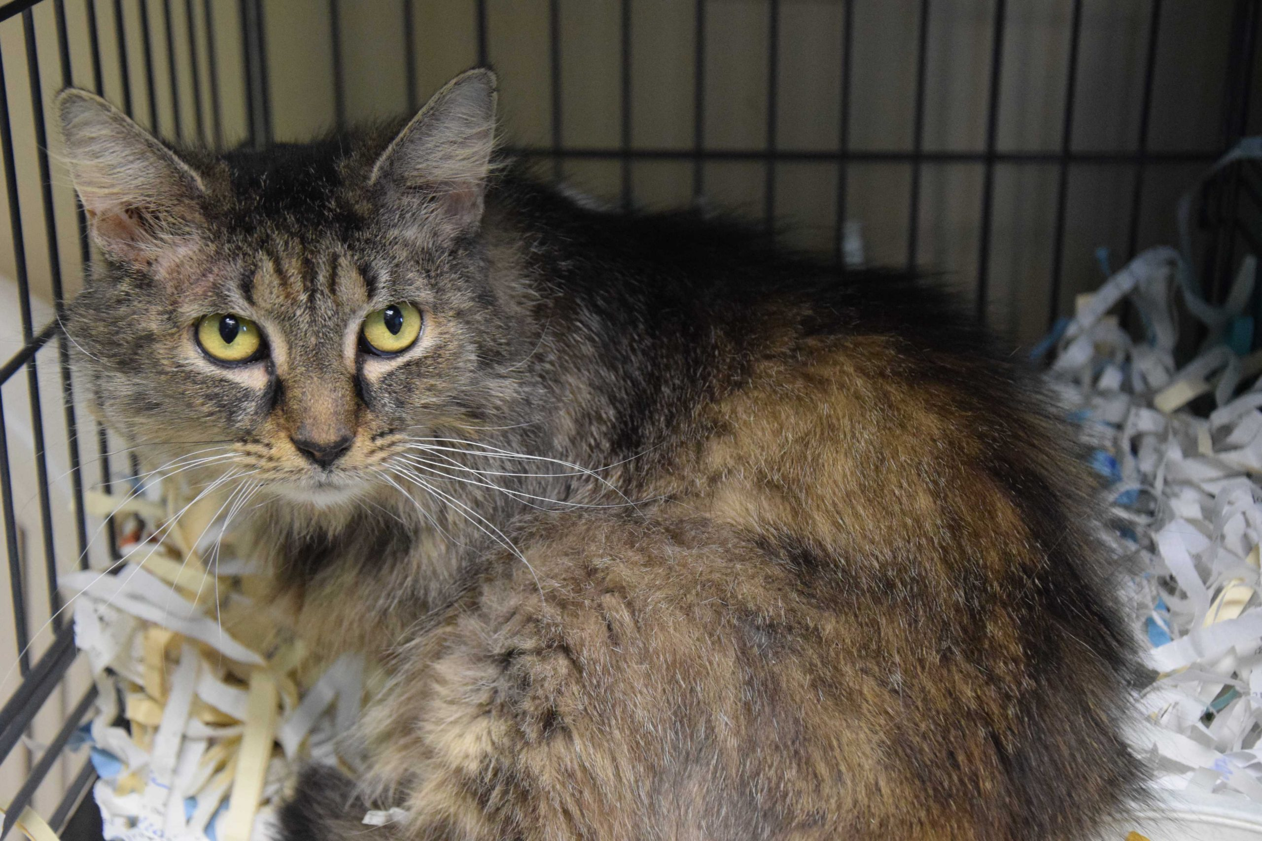 Factors That Affect Maine Coon Adoption Cost