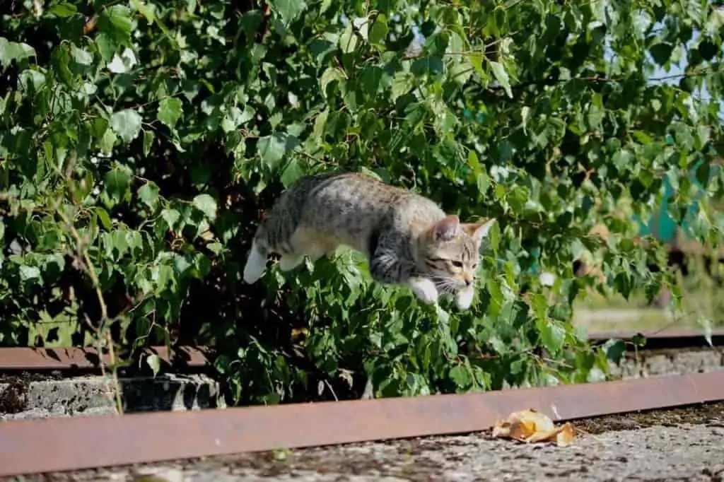 How High Can Maine Coons Jump?