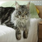How Much Does It Cost To Adopt A Maine Coon Cat?
