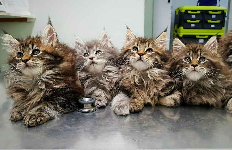 How Much Is An Adopted Maine Coon Kitten?