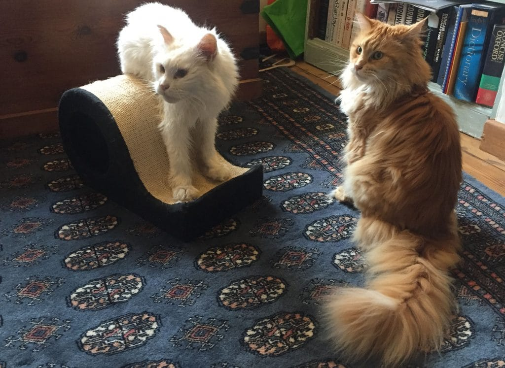 How To Stop Your Maine Coon Scratching Your Furniture
