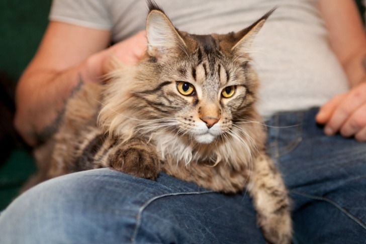 How do Maine Coon Cats Cool Down?
