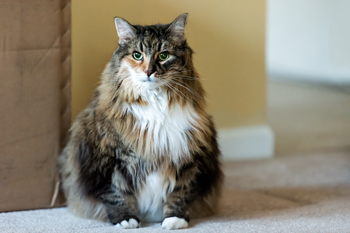 How to tell if your Maine Coon is overweight