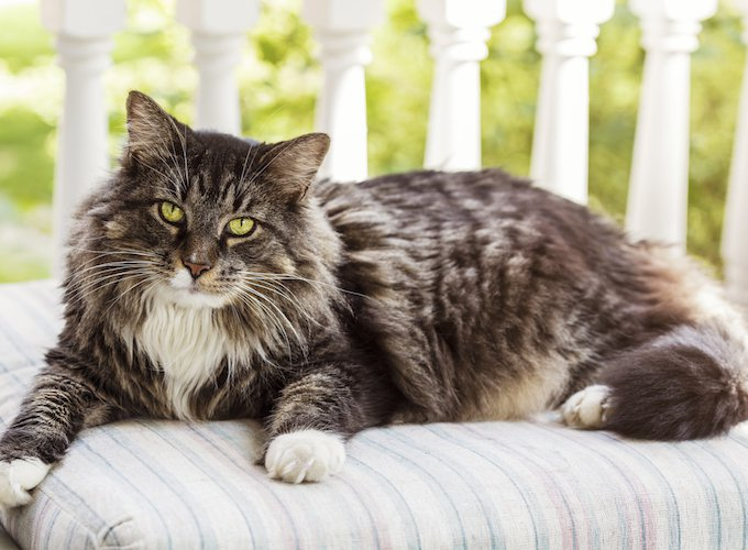 Introducing a Maine Coon kitten to your dog