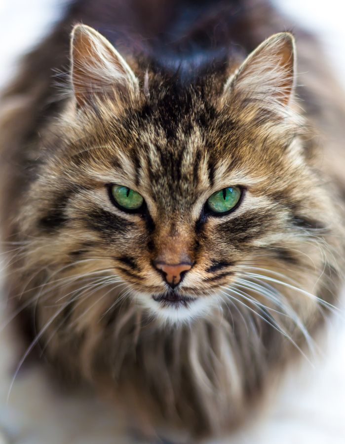 Maine Coon Eye Problems