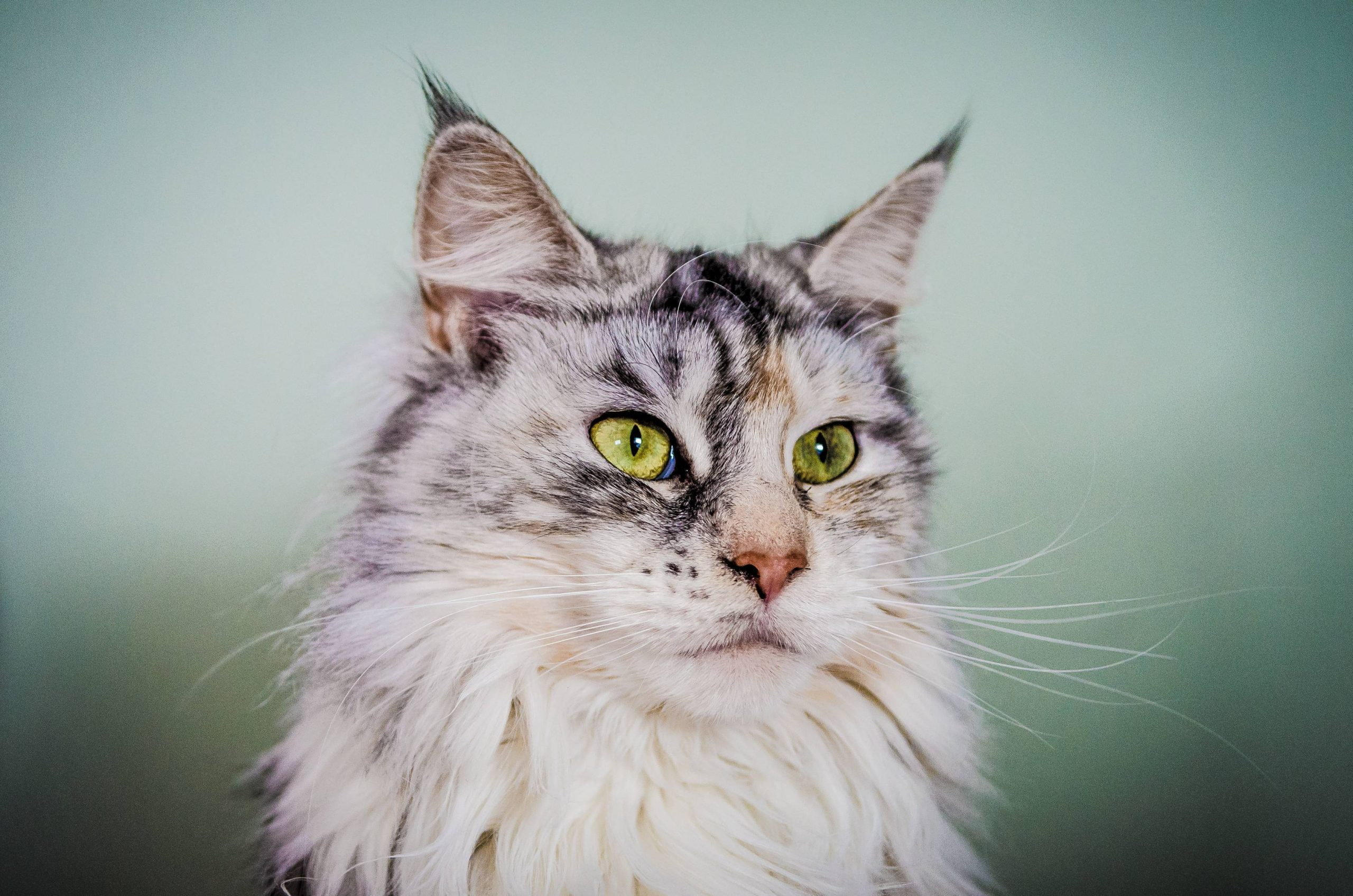 Maine Coon Eyes