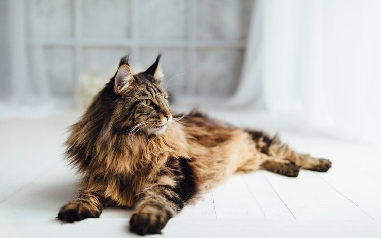 Maine Coon Health Issues