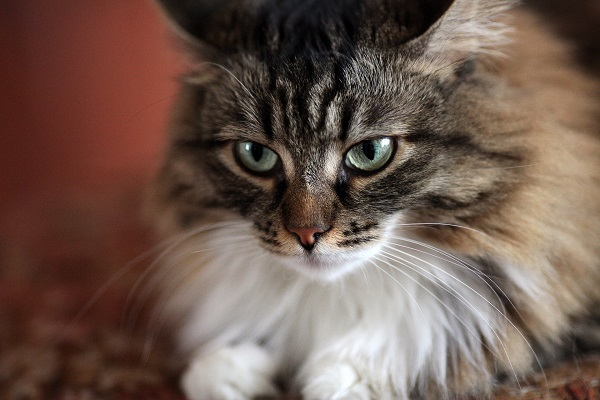 Maine Coon Maintenance Cost