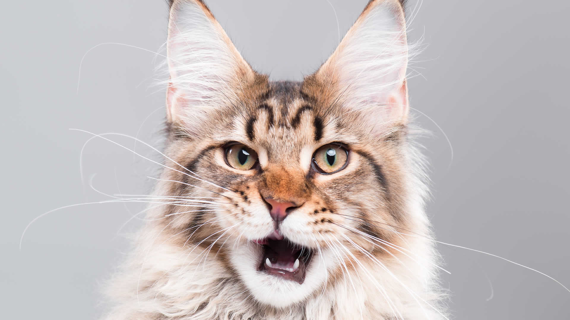 Maine Coon Whiskers