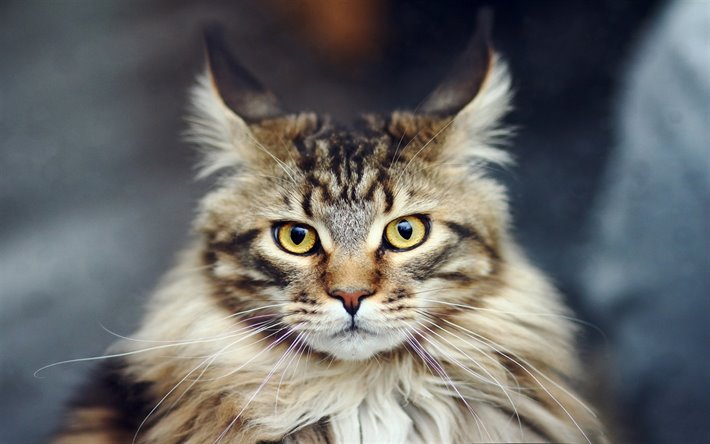 Maine Coon's yellow eyes