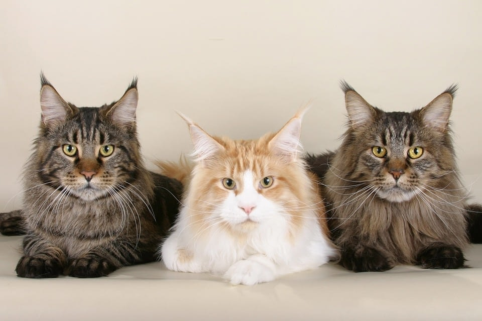 Male Vs. Female Maine Coon Cat
