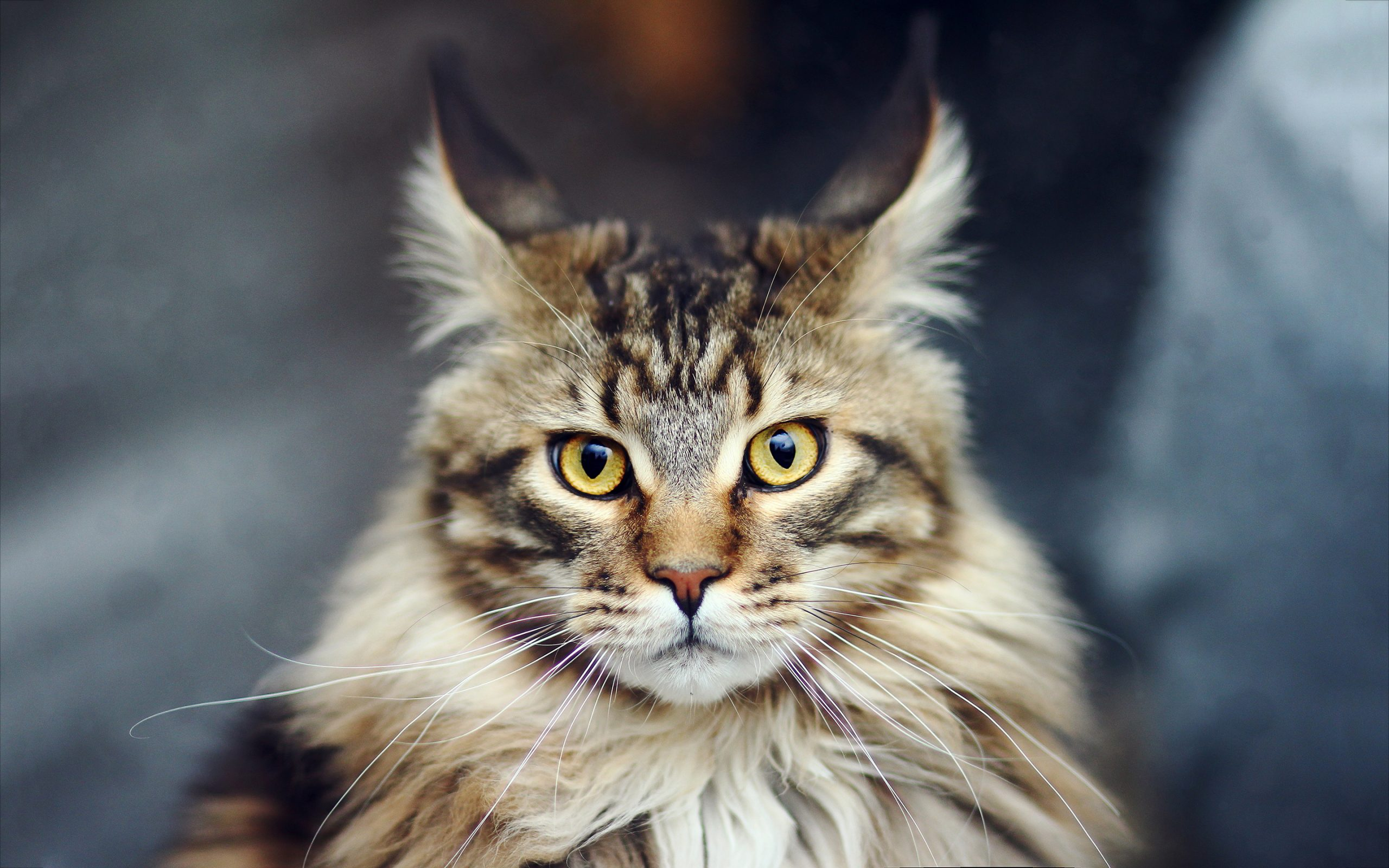 Physical Maine Coon Characteristics