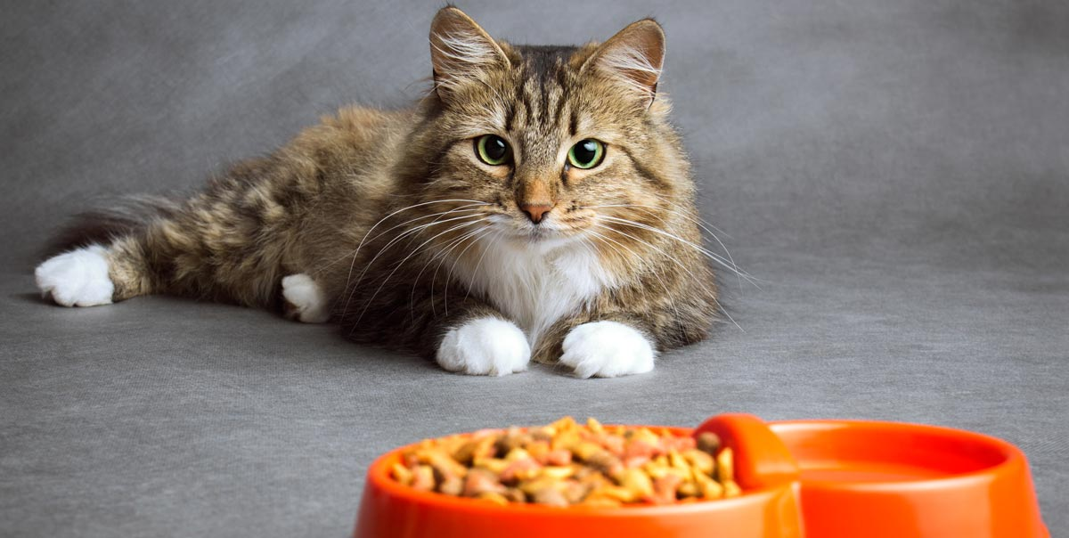 Signs Your Maine Coon Has a Sensitive Stomach
