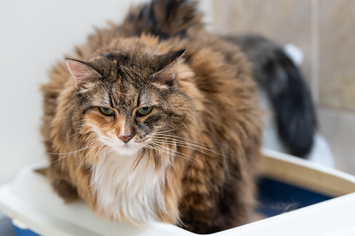Symptoms of Maine Coons overweight