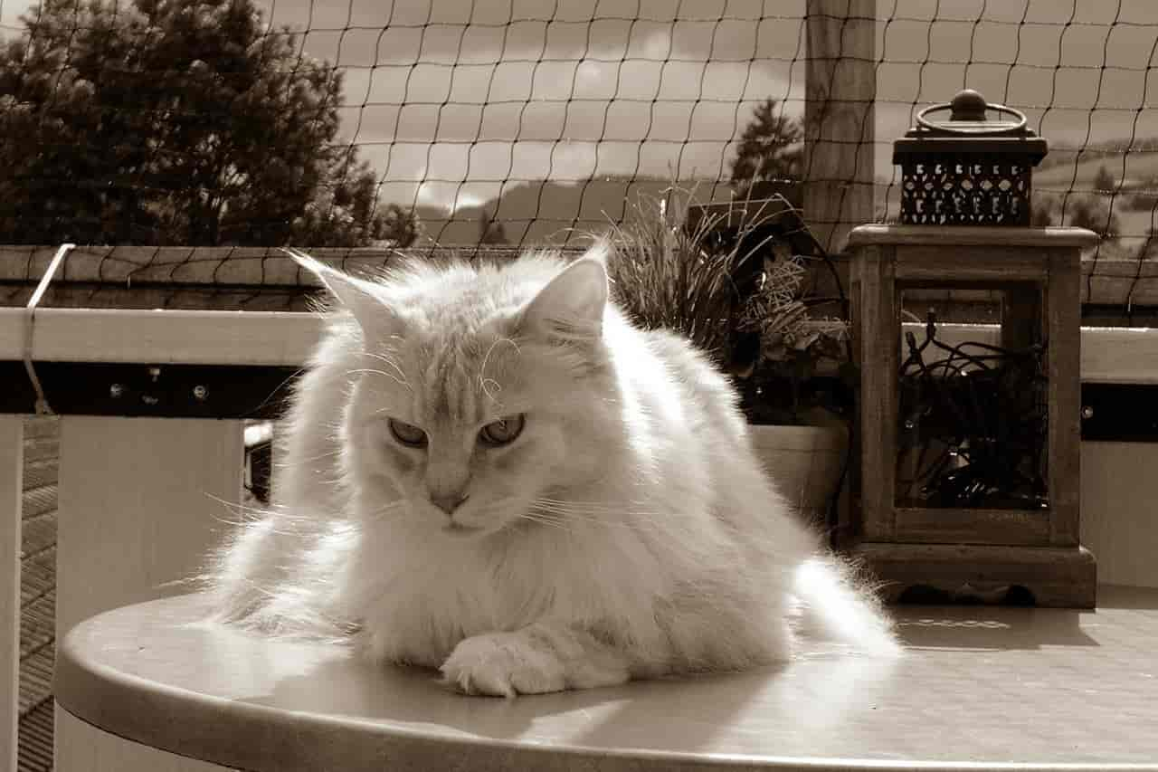 What Does It Mean When a Maine Coon Cat Meows?
