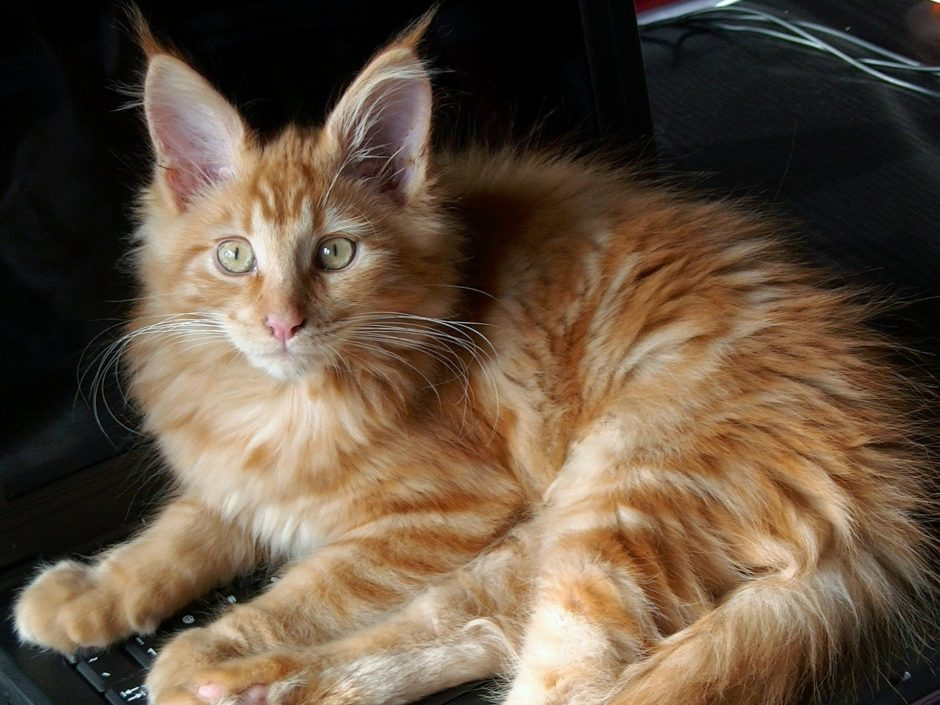 What is the average weight of a Maine Coon cat?