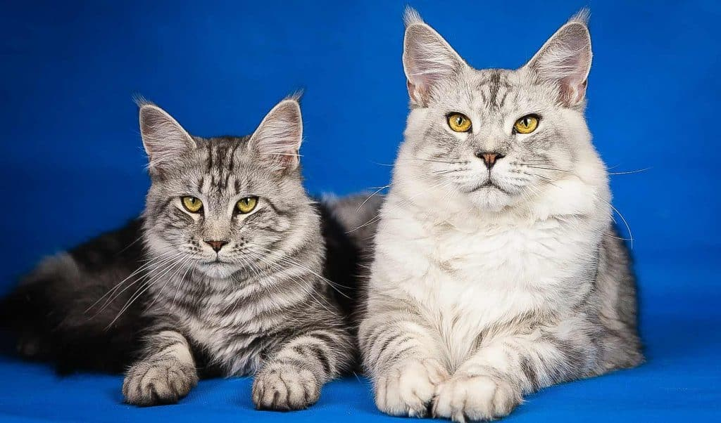 Why Can Maine Coons Be Small?
