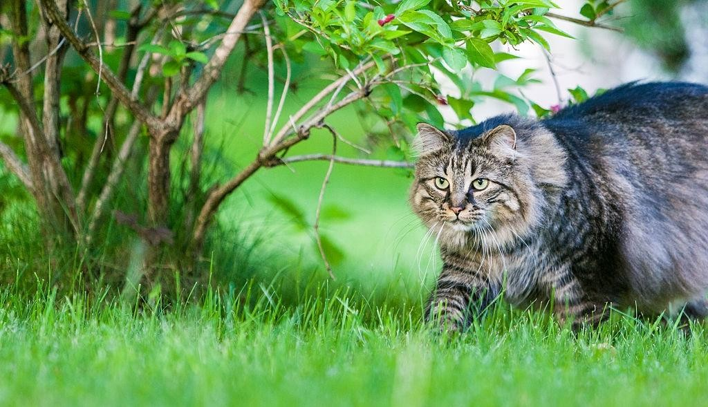 Why are Maine Coons protective?