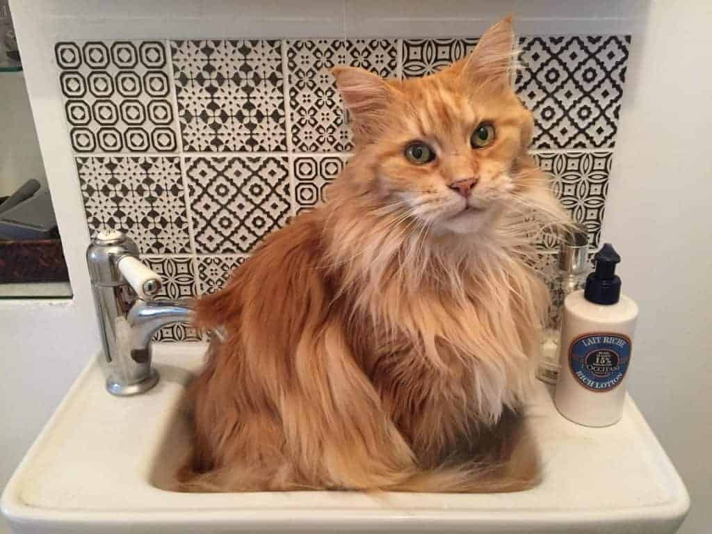 Why does your Maine Coon smell?